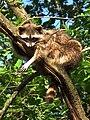 Gemütlich hängend im Baum.JPG