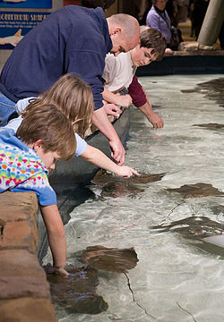 The petting tank featuring bonnethead sharks and cownose rays