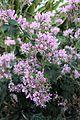 Geraniales - Pelargonium cordifolium - 4.jpg