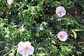 Geranium sanguineum var. striatum 02.JPG