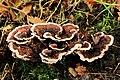 Gezoneerde stekelzwam (Hydnellum concrescens) Locatie, Hortus (Haren, Groningen) 02.JPG