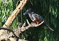 Giant Kingfisher, Megaceryle maxima at Rietvlei Nature Reserve, South Africa (22293806731).jpg