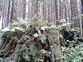 Giant Stumps - panoramio (2).jpg