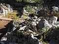 Giardino botanico alpino Viote - Galium verum4.jpg