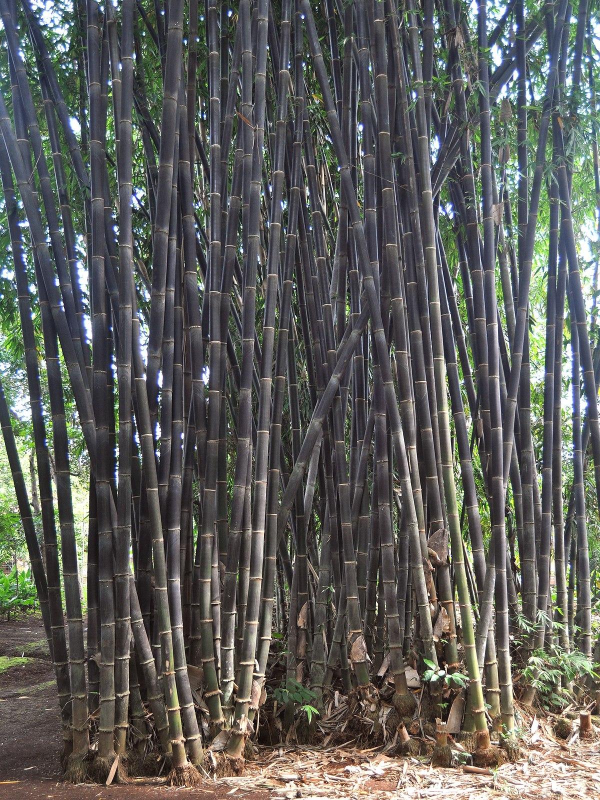 Bambu hitam - Wikipedia bahasa Indonesia, ensiklopedia bebas