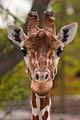 Giraffe (3903606995).jpg