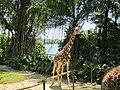 Giraffe 长颈鹿 - panoramio.jpg