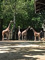 Giraffes of various descriptions (540163465).jpg