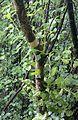 Girdled Birch showing dormant bud growth.jpg