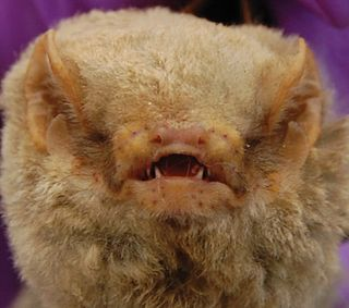 Abo bat Species of bat