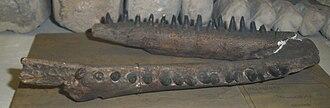 Pilot whale - Jaw of the extinct species Globicephala etruriae