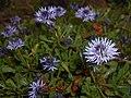 Globularia cordifolia 2016-05-17 0738.jpg