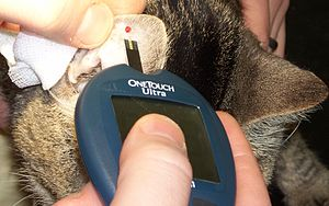 Checking a diabetic cat's blood sugar.