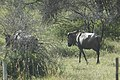 Gnou bleu - Connochaetes taurinus dans la réserve Okonjima 02.jpg