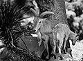Goat (156554907).jpeg