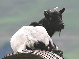 Goat (Capra aegagrus hircus) (2).jpg