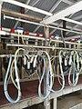 Goat milking parlor.jpg