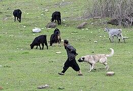 Goatherd and his dog, Kozan 04.jpg