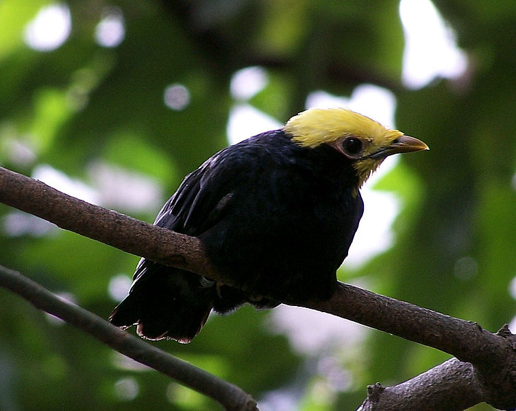 File:Golden crowned Myna.jpg