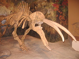 Sam Noble Oklahoma Museum of Natural History - Image: Gomphotherium