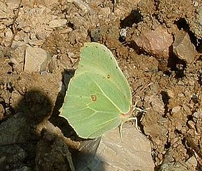 Description de l'image  Fichier:Gonepteryx rhamni01.jpg .