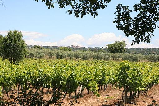 Gordes, vignes et oliviers, par JM Rosier