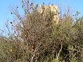 Granado junto Castillo de Aledua.JPG