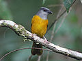 Gray-headed Tanager RWD4.jpg