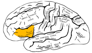 Brodmann area 45 - Lateral surface of left cerebral hemisphere (shown in orange).