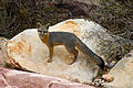 Gray Fox - Red Rock Canyon, Nevada.jpg