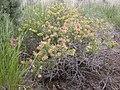 Grayia spinosa (8162063199).jpg