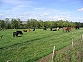 Grazing cattle near Denholmhill Farm - geograph.org.uk - 251805.jpg