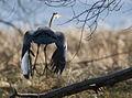 Great Blue Heron in Flight (4818819823).jpg