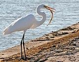 Alternate names: Great White Egret, Common Egret, Great White Heron. Subspecies: Ardea alba modesta.