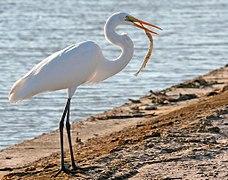 Great Egret Fish