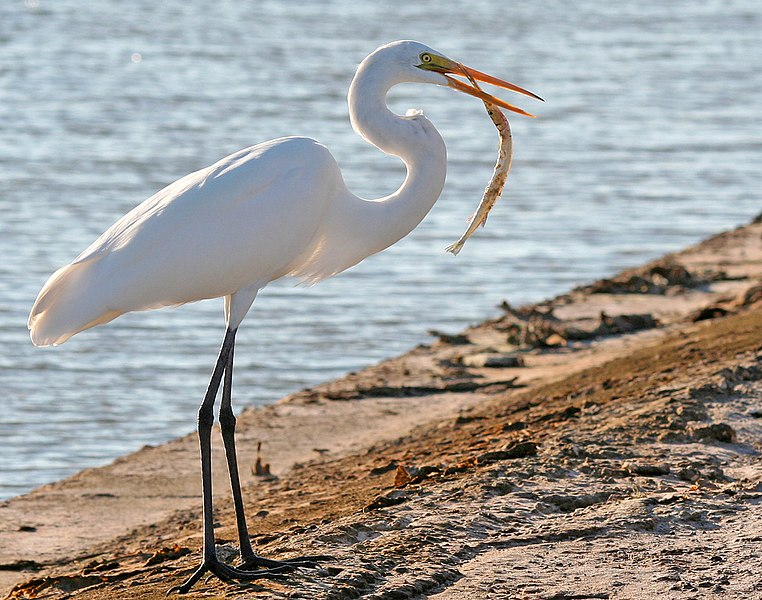 File:Great Egret Fish.jpg