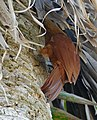 Great Rufous Woodcreeper (Xiphocolaptes major) foraging in a palm tree (29362716555).jpg
