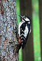 Great Spotted Woodpecker (female) (2606310145).jpg