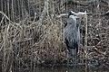 Great blue heron by adam blackwater (14104929658).jpg