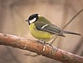 Great tit (32241659341).jpg