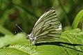 Green-veined white butterfly (Pieris napi) underside worn first.jpg