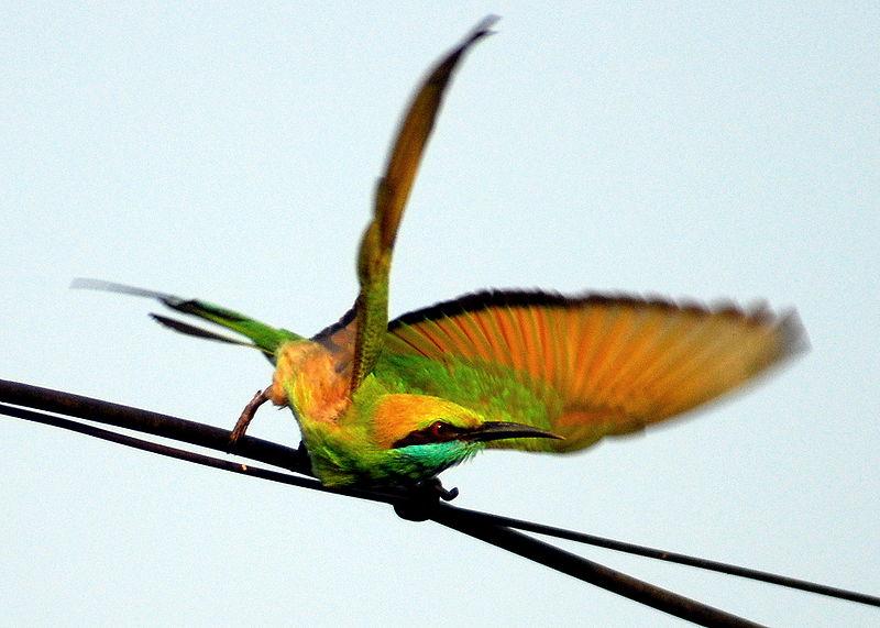 File:Green Bee-eater, Merops orientalis takeoff.jpg