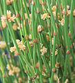 Green ephedra Ephedra viridis leaf scales male cones.jpg
