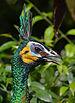 Green peafowl (female).jpg