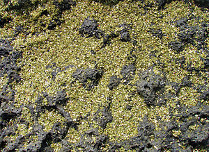 Olive (color) - Green sand is actually crystaline olivine which has been eroded from lava rocks