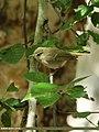 Greenish Warbler (Phylloscopus trochiloides) (16425805243).jpg