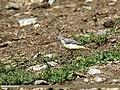 Grey Wagtail (Motacilla cinerea) (28977198851).jpg
