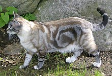 Grey Classic tabby, showing the bullseye pattern
