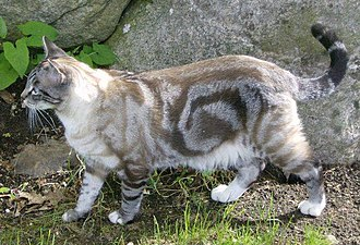 Tabby cat -  A Seal lynx point showing the bullseye classic pattern