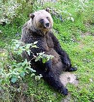 Grizz at rest.jpg
